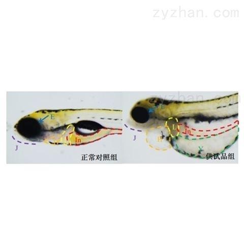 斑马鱼模型评价急性毒性
